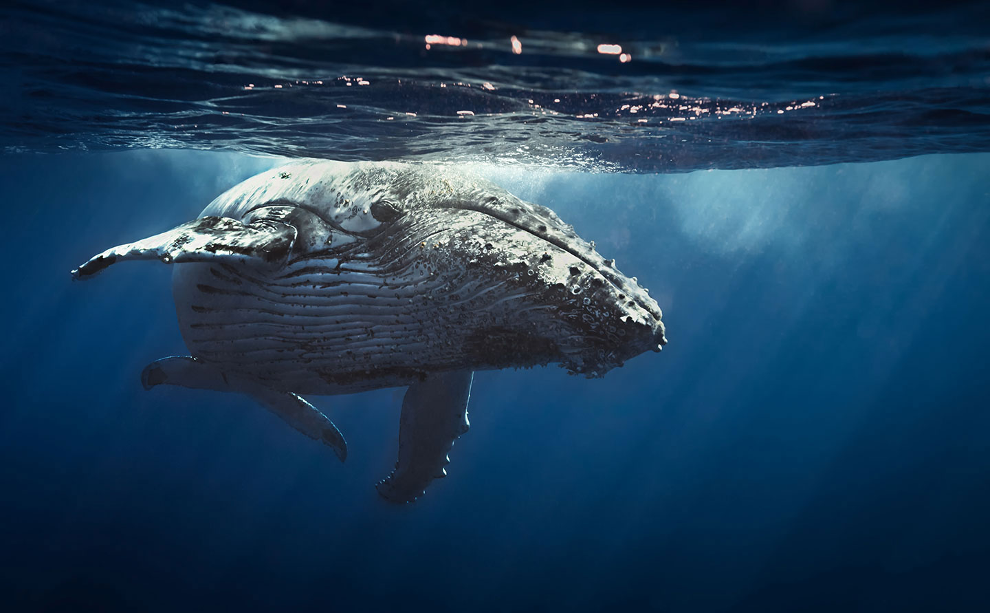 factors affecting humpback whales annual migration from southeast alaska to hawaiian islands