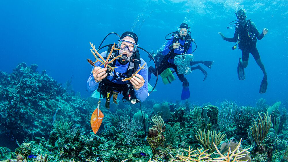 Diver holds coral outplants