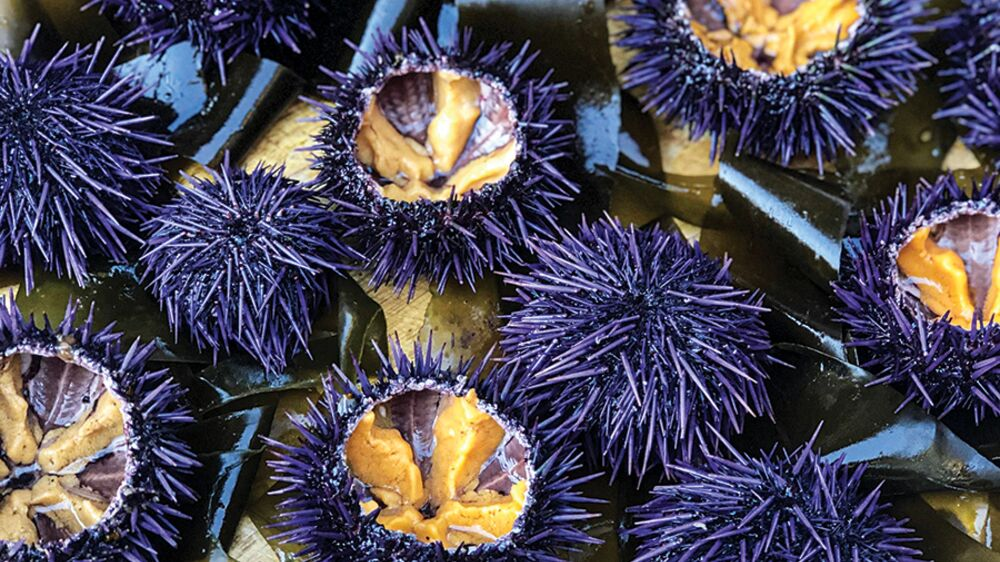 Plated ranched urchins