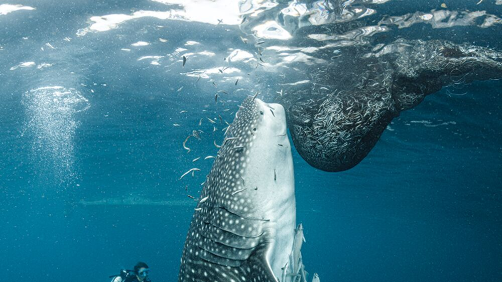 A diver hovers behind a whale shark that is vertical in the water column as it eats fish from a fisherman's net