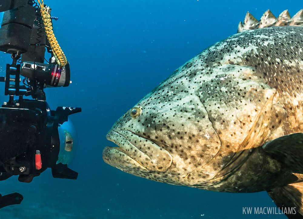 Scuba Diving With Grouper In Florida