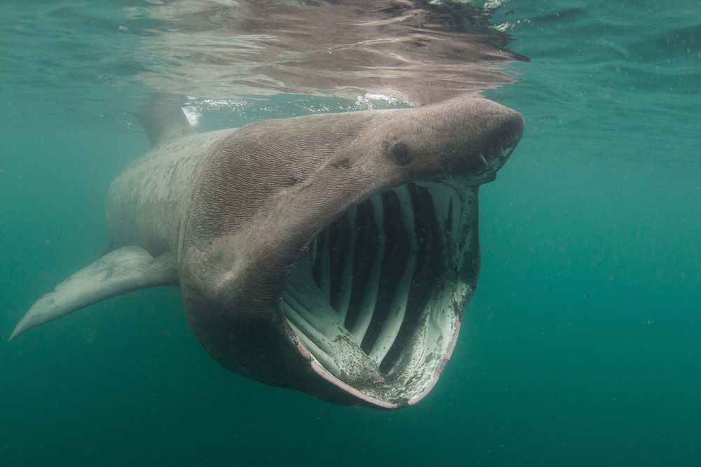 Fun Facts About Basking Sharks Scuba Diving