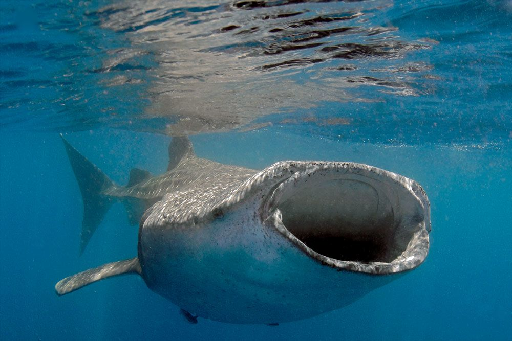 5 best destinations for swimming with whale sharks scuba diving