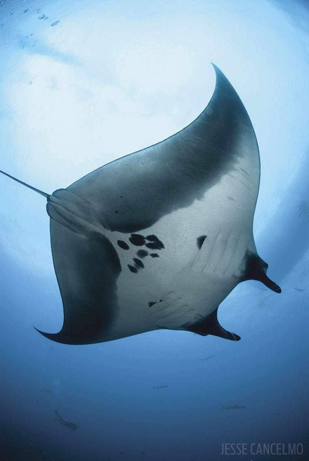 Manta ray swimming underwater with its dorsal fins spread open viewed - Manta Underwater Photo Gulf Of Mexico Flower Garden Banks