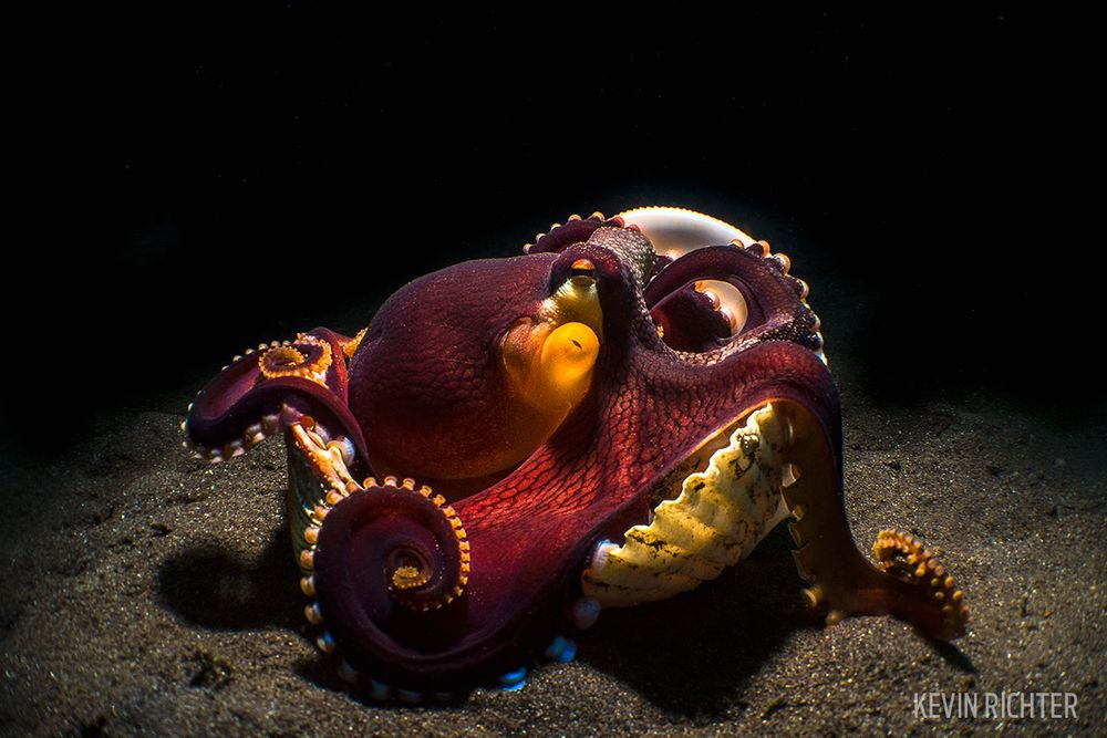 Photo of coconut octopus, by Kevin Richter