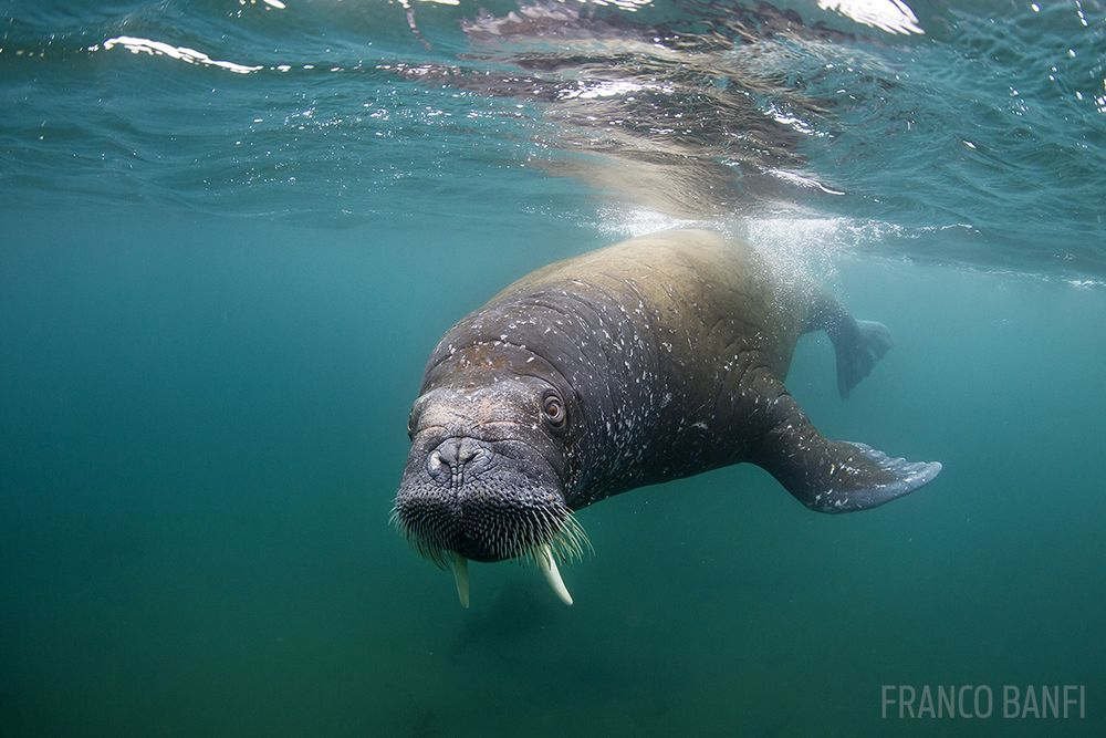 12 interesting facts about the walrus scuba diving