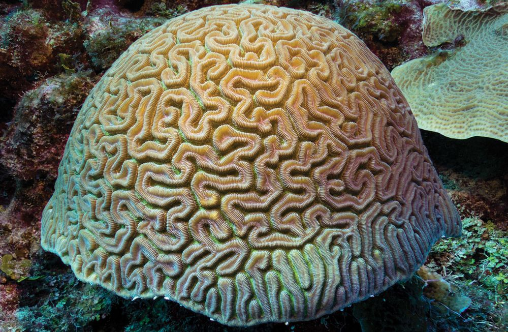 how to identify grooved brain coral scuba diving