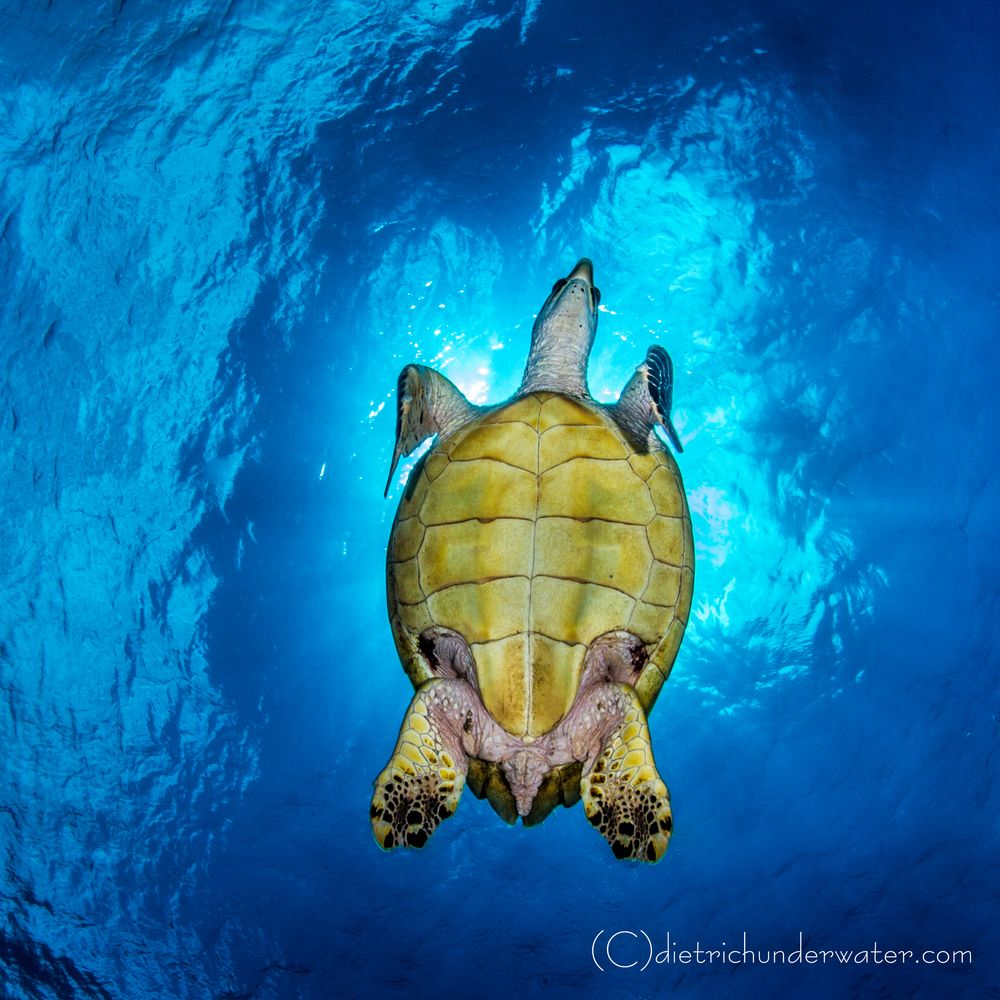 dive with sea turtles scuba diving