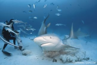 Divers Underwater with Bull Sharks in Mexico