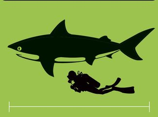 How big is a bull shark compared to a human