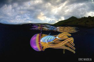 A jellyfish underwater in Indonesia