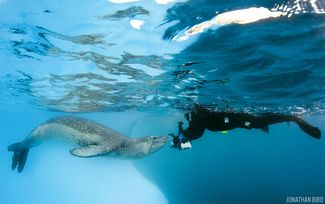 Leopard Seal Underwater Face-To-Face with Diver