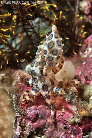 Deadly Blue Ringed Octopus in the Philippines