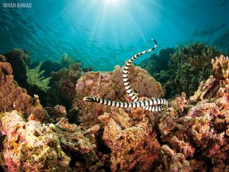 Sea Krait Sea Snake with Coral in Indonesia