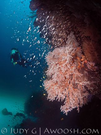 Pink soft coral underwater in the Similan Islands