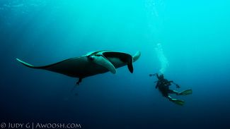 Diver and Manta Ray underwater in Koh Bon, Thailand