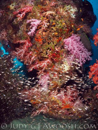 Underwater photo of a colorful soft coral reef in the Similan Islands, Thailand
