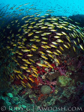 Schooling fusiliers fish in Richelieu Rock, Thailand underwater photography