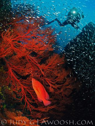 Underwater photo of a sea fan and baitfish with scuba diver in Thailand