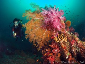 Underwater photo taken in Thailand of soft coral and the thermocline is visibile