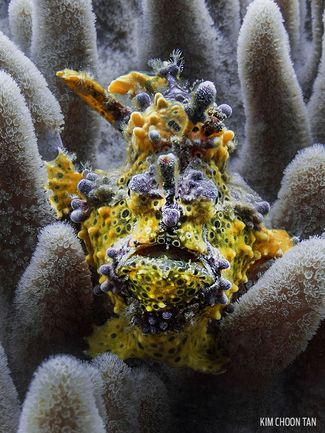 Colorful Frogfish Underwater Photography
