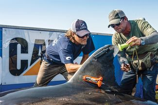 Great White Shark Tagging Ocearch Founder