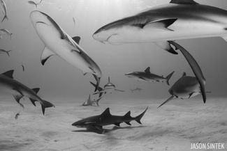 scuba diving with reef sharks in the bahamas
