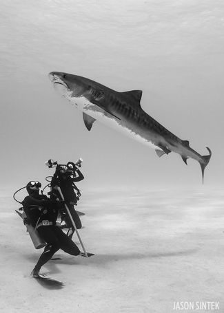 scuba diving with tiger sharks in the Bahamas
