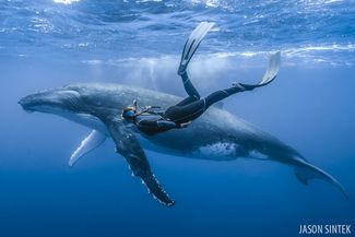 freediving with humpback whales in Tonga