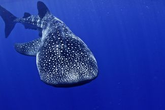 swimming with whale sharks in honduras