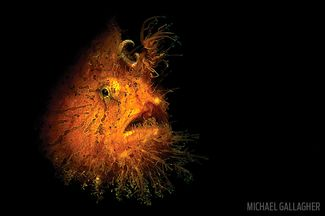 Frogfish: The Masters of Disguise