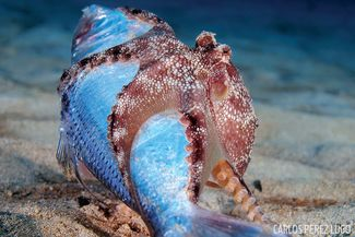 octopus eating sardine