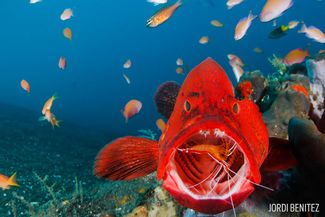 coral grouper cleaner shrimp mutualism