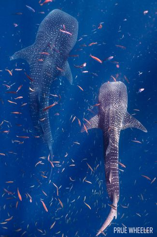 11 fin tastic sharks from our underwater photo contest - Ningaloo reef dive ...