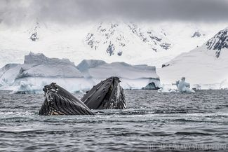 Humpbacks Antarctica