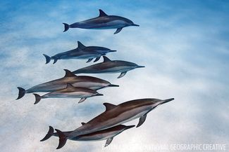 hawaii spinner dolphins