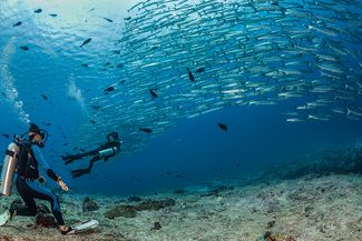 Divers watch schooling barracuda