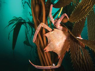 California kelp forest with crabs