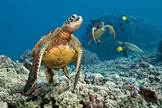 Sea turtle underwater photo at five caves scuba diving site in Maui, Hawaii
