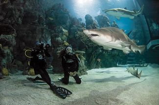 Scuba diving with sand tiger sharks in the Denver Aquarium