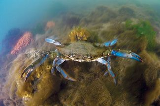 Crab underwater photo from Cape Neddick Lighthouse in Maine