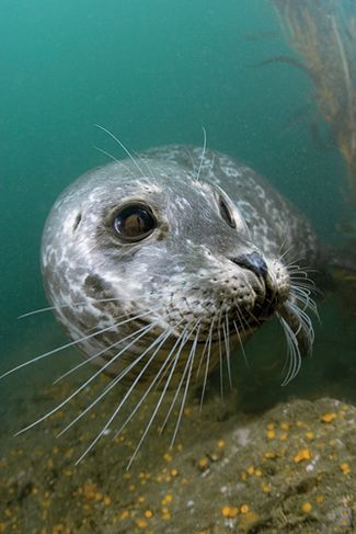 Scuba diving with harbor seals in Monterey Bay, California
