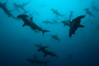 Scuba diving with whale sharks and hammerheads at the Flower Garden Banks in the Gulf of Mexico