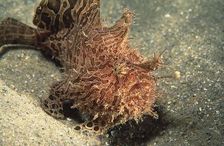 Striated frogfish