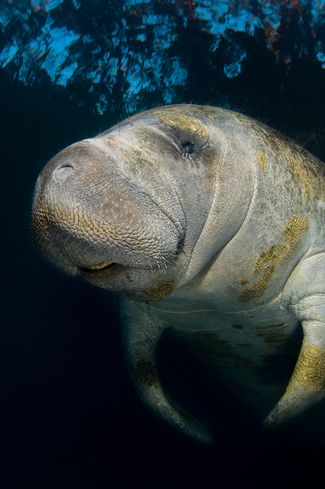 scuba diving with manatees