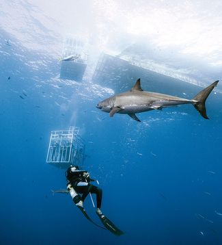 scuba diving with great white sharks in gudalupe island, mexico
