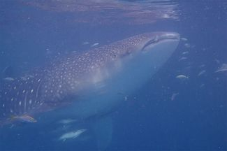 Scuba diving with whale sharks Derawan Islands, Indonesia