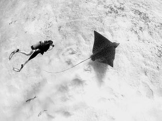 Diver with Eagle Ray in Cozumel