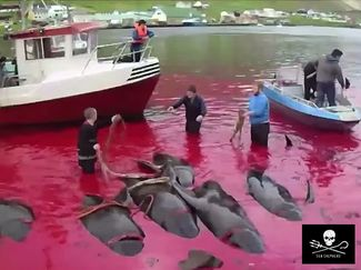 Pilot Whale Slaughter Faroe Islands Sea Shepherd