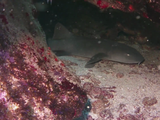 Nurse shark and Beacon Point dive site in Curacao